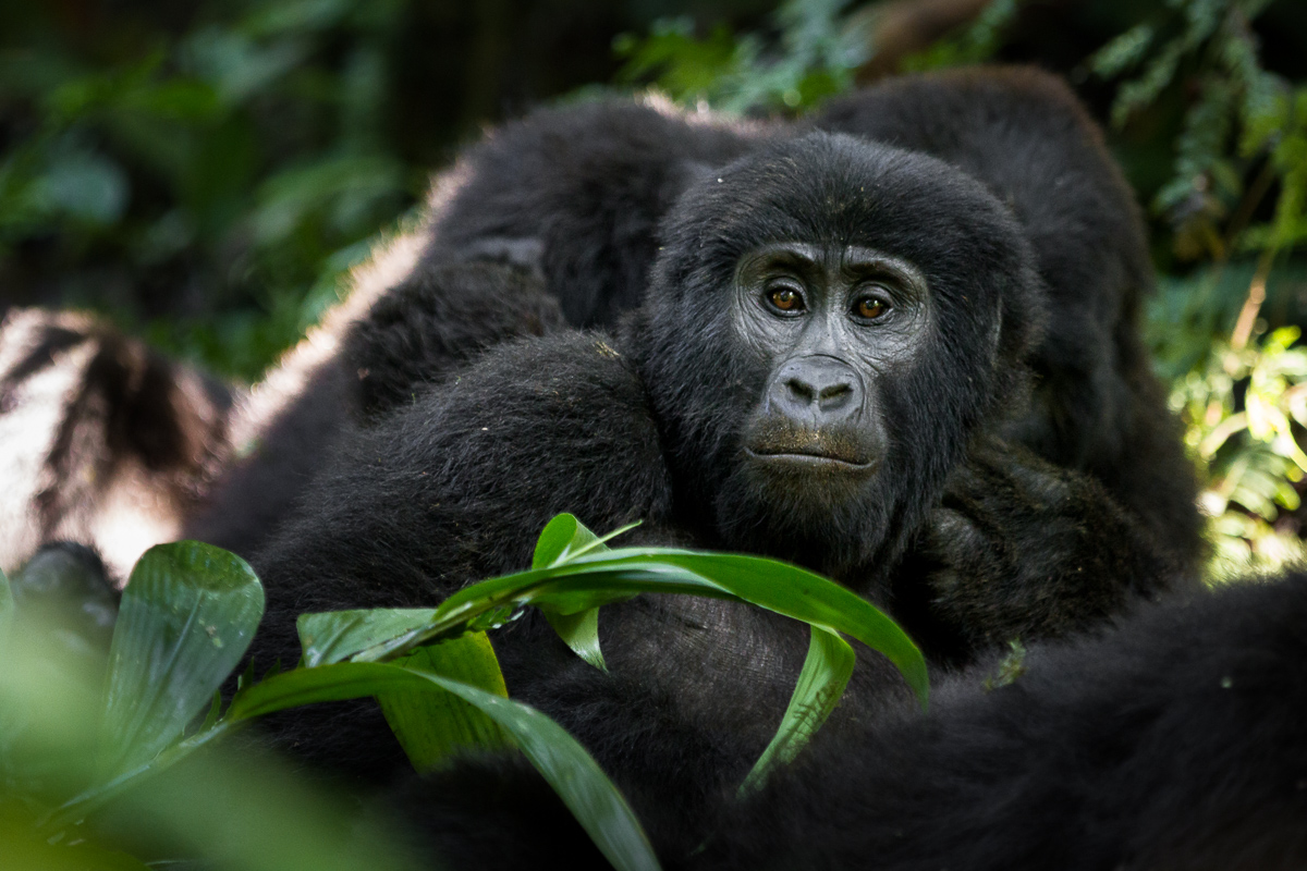 Mountain_Gorillas_Bwindi_Bwindi_Nationalpark
